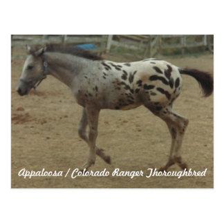 Appaloosa Colorado Ranger Thoroughbred Colt II Postcard