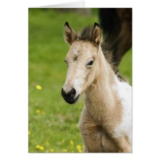 Appaloosa Foal Cards