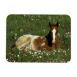 Appaloosa Foal Laying Down in Flowers Magnets