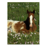 Appaloosa Foal Laying Down in Flowers Post Cards