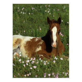 Appaloosa Foal Laying Down in Flowers Postcard