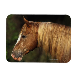Appaloosa Horse Headshot 1 Magnet