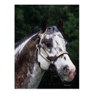 Appaloosa Horse Headshot 2 Postcard