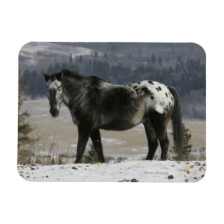Appaloosa Horse in the Snow Magnet