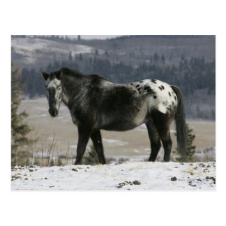 Appaloosa Horse in the Snow Post Cards