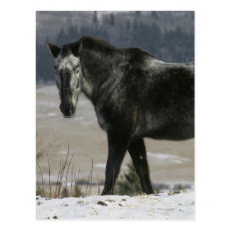 Appaloosa Horse in the Snow Postcard