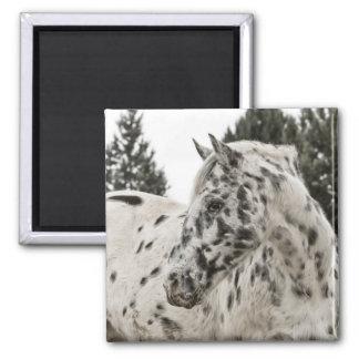 Appaloosa Horse Fridge Magnet