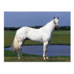 Appaloosa Horse Postcard