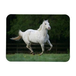Appaloosa Horse Running 1 Magnet