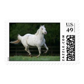 Appaloosa Horse Running 1 Postage