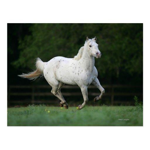 Appaloosa Horse Running 1 Post Cards