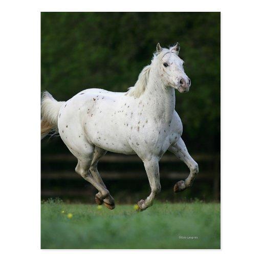 Appaloosa Horse Running 1 Postcards