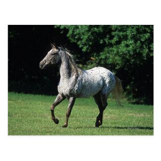 Appaloosa Horse Running 2 Postcard