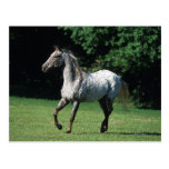 Appaloosa Horse Running 2 Postcards
