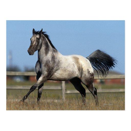 Appaloosa Horse Running 3 Postcards