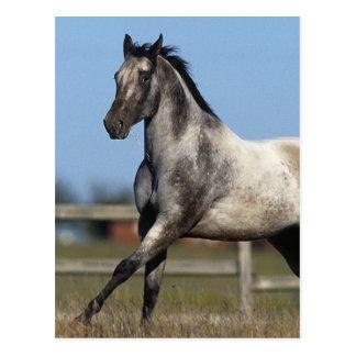 Appaloosa Horse Running 3 Postcard