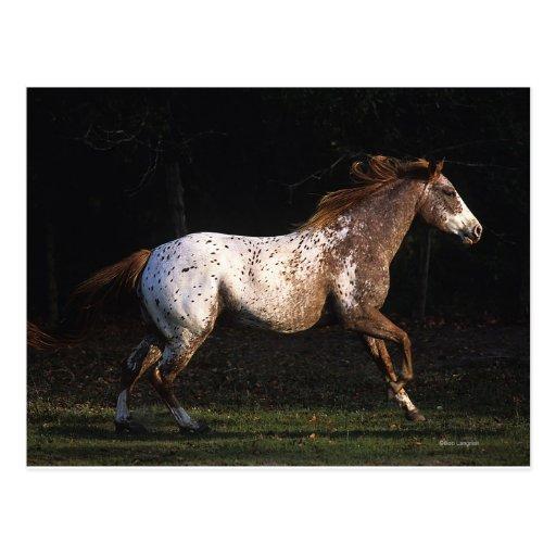 Appaloosa Horse Running 4 Post Cards