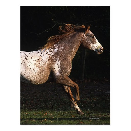 Appaloosa Horse Running 4 Postcard