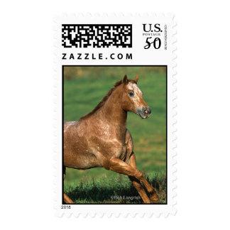 Appaloosa Horse Running in Grassy Field Postage