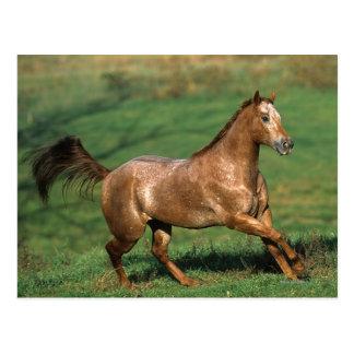 Appaloosa Horse Running in Grassy Field Postcard