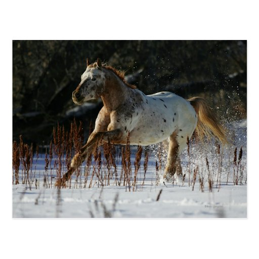 Appaloosa Horse Running in the Snow Post Card