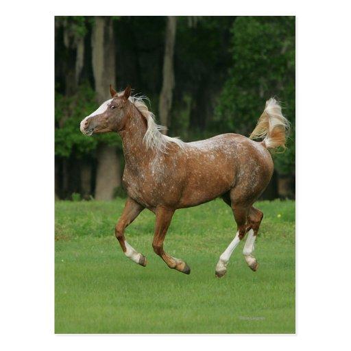 Appaloosa Horse Running Postcard