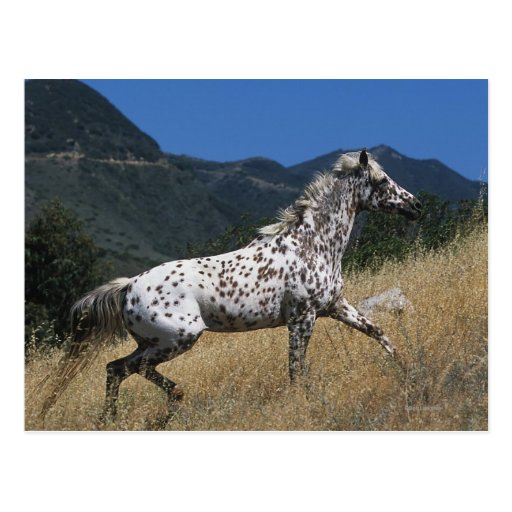 Appaloosa Horse Running up Mountain Post Cards