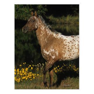 Appaloosa Horse Standing by Lake Postcard