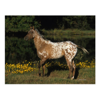 Appaloosa Horse Standing by Lake Post Card