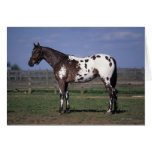Appaloosa Horse Standing Cards