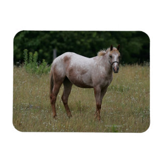 Appaloosa Horse Standing in the Grass Magnet
