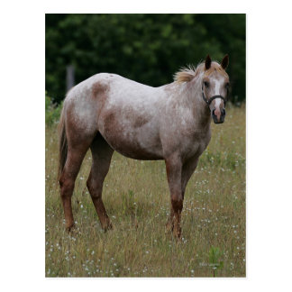 Appaloosa Horse Standing in the Grass Post Card