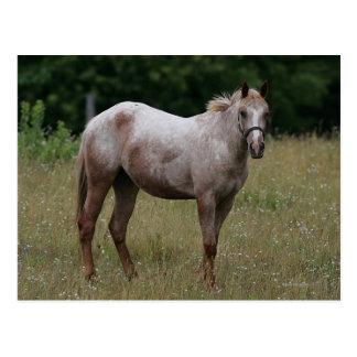Appaloosa Horse Standing in the Grass Postcard