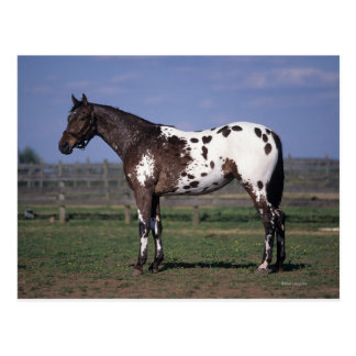 Appaloosa Horse Standing Post Cards