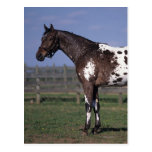 Appaloosa Horse Standing Postcards