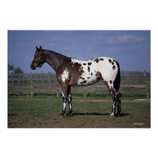 Appaloosa Horse Standing Poster