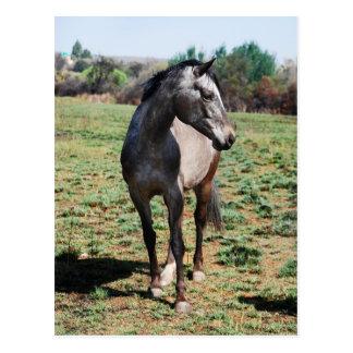 Appaloosa horses postcards