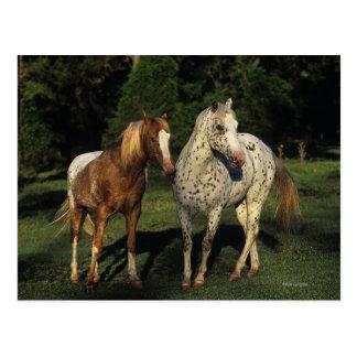Appaloosa Horses Postcard