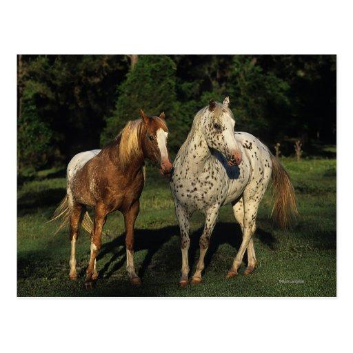 Appaloosa Horses Post Cards