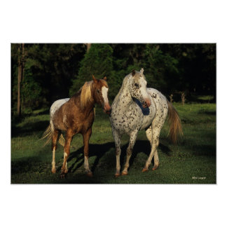 Appaloosa Horses Poster