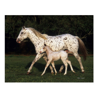 Appaloosa Mare And Foal in Field Postcard