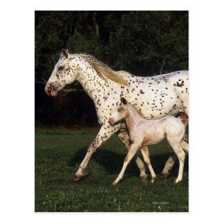 Appaloosa Mare And Foal in Field Postcards