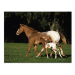 Appaloosa Mare And Foal Post Card
