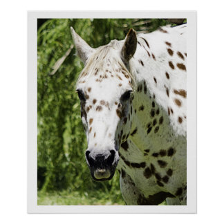 Appaloosa Portrait,Horse Photography Poster