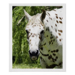 Appaloosa Portrait,Horse Photography Posters