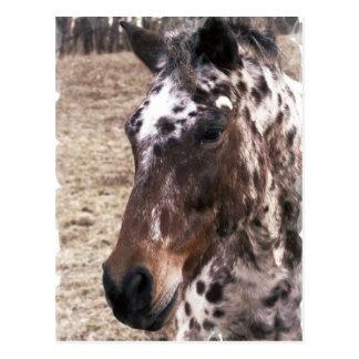 Appaloosa Stallions Postcard