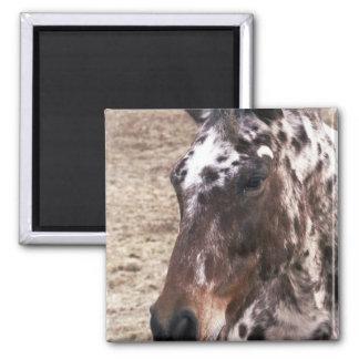 Appaloosa Stallions Square Magnet Magnets