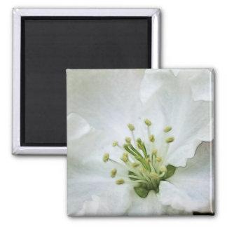 Apple blanco florece primer iman