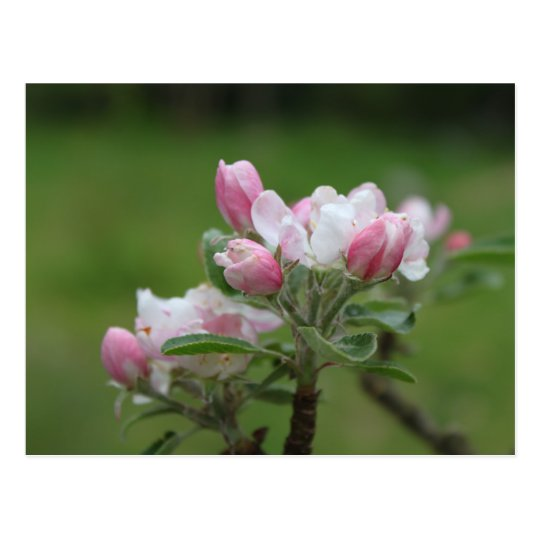 apple blossom and green leaves postcard