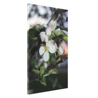 Apple Blossom at Sunset Canvas Print